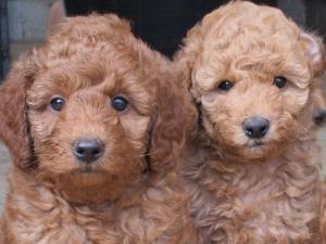 Nguồn gốc, phân loại, kinh nghiệm chăm sóc và giá bán chó Poodle