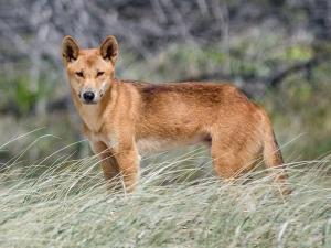 Chó Dingo Đông Dương – Giống chó dũng mãnh và hoang dại