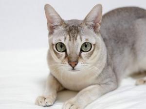 Tìm hiểu về mèo Singapura – ''báu vật'' của đảo quốc sư tử